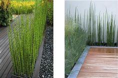 El Equisetum hyemale  es una buena solución para delimitar zonas, en hileras o para alineaciones de caminos, pudiendo alca...