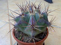 Echinocactus Platyacanthus : Cactus y Suculentas de Amanecer