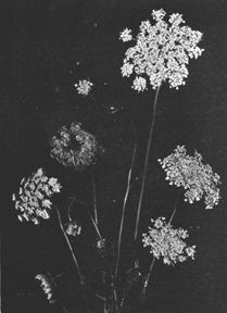 Learn how these 'weeds' can help you!  Three Herbs: Yarrow, Queen Annes Lace and Indian Pipe
