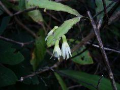 Cacto-pendente, Cacto-serrote - Lepismium houlletianum. Origem: Brasil.