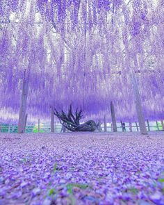 Wisteria Tunnel Kawachi Fuji Gardens In Kitakyushu Japan Wisteria Tunnel Kawachi Fuji Gardens In Kitakyushu Japan Wisteria Tunnel Kawachi Fuji Gardens In Kitakyushu Japan<br> # Skin Care wallpaper backgrounds Wisteria Garden, Wisteria Tree, Wisteria Pergola, Wisteria Tunnel Japan, Wisteria Trellis, Wisteria Wedding, White Wisteria, Beautiful Nature Wallpaper, Beautiful Landscapes