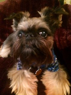 Elmo the Brussels Griffon from Chicago lounging and watching tv #Barkpost