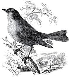 Free Stock Bird Images Engravings