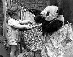 Ming, one of four pandas bought by London Zoo was featured in propaganda to boost British morale during World War II.  Photo: Hulton/Getty Images.