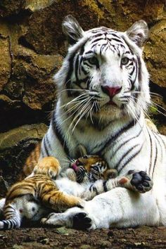Tiger with playful cub