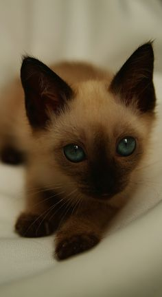 Free Siamese Kittens Siamese Kittens for Sale the