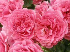 best climbung roses german - Rosarium Uetersen Rose