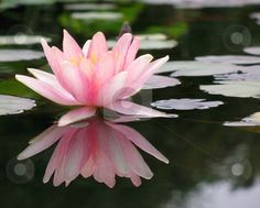 """The Lotus """" the spiritual flower """" - The World Of Truth"""