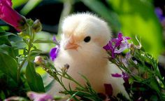 chick ~ I trust in nature for the stable laws of beauty and utility. Spring shall plant and autumn garner to the end of time. Baby Chickens, Chickens And Roosters, Gallus Gallus Domesticus, Mundo Animal, Tier Fotos, Cute Little Animals, Adorable Animals, Beautiful Birds, Simply Beautiful