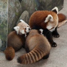 National-Zoo - Red Panda Cubs