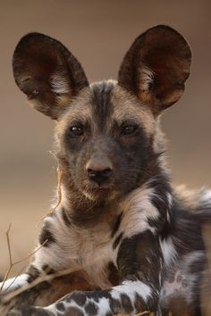 Hyena no perro africano o Licaleon Animals And Pets, Baby Animals, Cute Animals, Wild Animals, Beautiful Creatures, Animals Beautiful, Regard Animal, Zee Dog, African Wild Dog