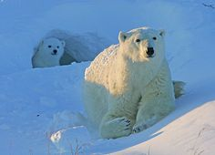 Ijsbeer en jong. IJsberen dreigen in hoog tempo hun belangrijke kraamkamers te verliezen door het verdwijnen van zee-ijs op de Noordpool. Meer weten? Klik op de pin!