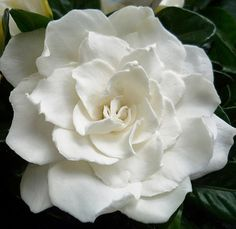 Gardenia  If you have never smelled one, do it!  You will never forget the smell of a Gardenia!