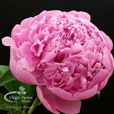 Jules Elie is a rosy pink peony with a full-bodied bloom. Its flower form is a bomb, which is characterized by rows of ruffly petals on the outside and smaller bunched petals that form a mound in the center.