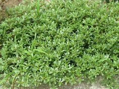 Parsley, Teak, Herbs, Health, Plants, Food, Gardening, Diet, Health Care