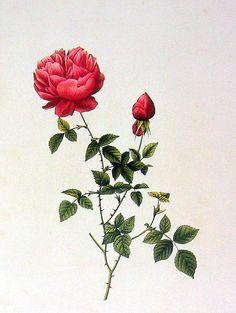 China Rose Rosa Evratina Bosc Redoute 2 Sided by mysunshinevintage, $10.00