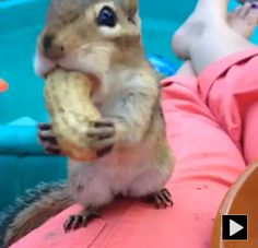 Find the biggest nuts and stuff it! #chipmunk #cute #funny