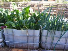 Raised garden beds made from IBC 1000ltr containers cut in half.