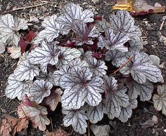 Brighter than 'Silver Scrolls', this one is silver leaves, green veins, and a little bit of a purplish cast. Shade Perennials, Shade Plants, Growing Flowers, Planting Flowers, Shade Garden, Garden Plants, Coral Bells Heuchera, Gothic Garden, Winter Plants