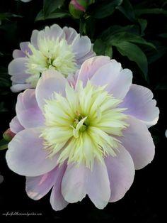 Peony - Springtime in Goodstay Gardens | Our Fairfield Home & Garden