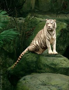 A white tiger posing for me at the Fort Worth zoo in tx Fort Worth Zoo, White Tigers, My Favorite Image, Wild Life, Big Cats, Predator, Animal Kingdom, Beast, Poses