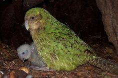 'The kakapo is down to its last 147 individuals. Now, scientists are using fitness trackers and semen-carrying drones to help the bird reproduce.' - SARAH FELDBERG Scientists are getting creative to save this muppet-faced, flightless parrot: Flightless Parrot, Kakapo Parrot, National Geographic Animals, Cod Fish, Wildlife Conservation, New Zealand, At Least, Creatures, Scientists