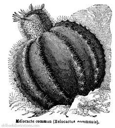 oldbookillustrations:  Melon cactus. From Dictionnaire encyclopédique Trousset, Paris, 1886 - 1891. A print of this picture is available here. (Source: Old Book Illustrations)