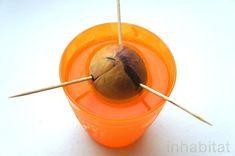 """【アボカド】もう""""種""""は捨てないで! 簡単・種から「アボカドの木」を育てる方法(1/2) - ウレぴあ総研"""