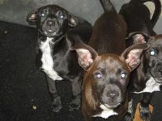 Orca Trio is an adoptable Terrier Dog in Chipley, FL. This is a litter of 3. Their are two males and one female. One of the males has a chocolate color with white on chest and another male is black wi...
