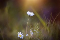Meadow, plants, flowers daisy, blur wallpaper
