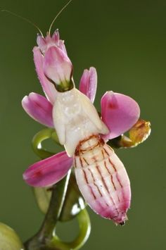 Orchid Mantis | The orchid mantis