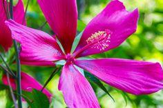 Hibiscus Red Flier