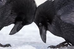 Frans de Waal - Public Page TENDER HEADBUTT  Ravens in the snow by Colleen Gara in Banff National Park, Alberta, Canada. -- See also: colleengaraphotography.com