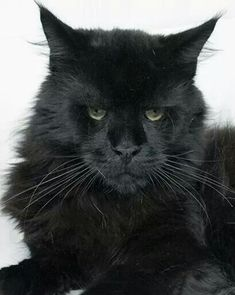 Pure black Maine Coon