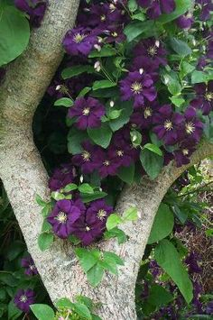 Clematis in a tree