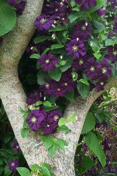 Grow This. (Clematis, flowering vine)
