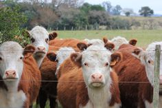 Oh well, who said cows aren't courious? They all wanted a picture! SAY CHEESEEEE! Hereford Cattle, Western Photography, Livestock, Cows, Farming, Westerns, Trips, People, Country Life