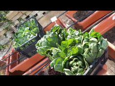 Sotto il sole di luglio raccogliamo le insalate per il pranzo. Ecco il nostro Chef a lavoro nel nostro orto di città! www.thotel.it Chef, Lettuce, Vegetables, Vegetable Recipes, Salads, Veggies