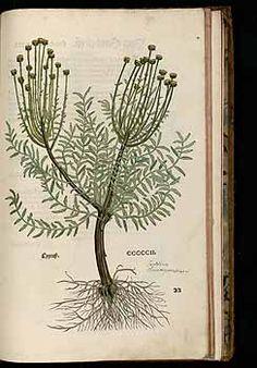 184917 Santolina chamaecyparissus L. / Fuchs, L., New Kreüterbuch, t. 502 (1543)