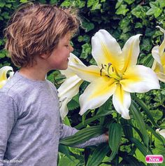 Big Brother Hybrid Oriental Lily - 2 Bulbs 16/18 cm - Very Fragrant - $5.99