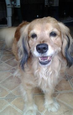 Poopy  is approx 7 yrs old and 40 lbs. She is people and dog friendly but has not yet been tested with cats. She is a laided back, happy gal. Loves for you to itch her lower back but is a little hand shy when you try to pet her head, leading me to...