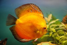 Discus Red Melon | Flickr - Photo Sharing!