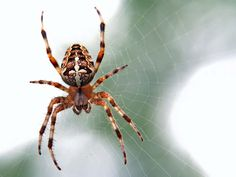 South Florida isn't just the only place in the world where crocodiles and alligators coexist. It's also where nearly 60 spider species call home. Every homeowner in Florida can expect an unwelcomed eight-legged visitor at some point or another. Spider Legs, Black Spider, Parts Of A Spider, Wd 40 Uses, Spider Species, Spider Pictures, Free Spider, Get Rid Of Spiders, House Spider