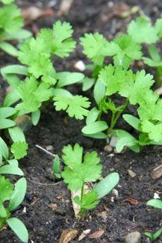 Gardening Tips, Garden Design, Herbs, Herb, Landscape Designs, Yard Design, Medicinal Plants