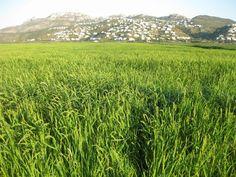 #PegoNatura info: campos de #arroz de la #MarjalPegoOliva antes de la siega — en Pego, Alicante.