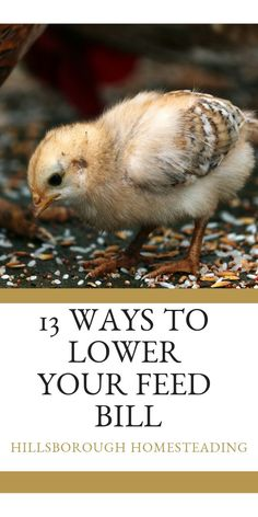 13 Creative Ways to Lower Your Chicken Feed Bill Types Of Chickens, Raising Backyard Chickens, Keeping Chickens, Backyard Poultry, Chicken Feed, Fresh Chicken, Chicken Eggs, City Chicken, Farm Chicken