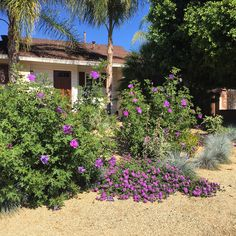 Blue (Purple) Hibiscus with purple lantana and blue fescue. Southern Cali landscaping in DG (decomposed granite)
