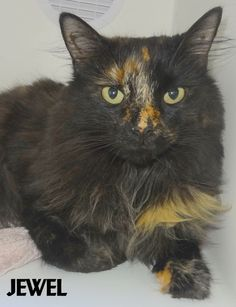 ADOPTED! Tag # Name is Jewel Tortie  Female-spayed Up to date on vaccines Quiet, but friendly  Located at 2396 W Genesee Street, Lapeer, Mi. For more information please call 810-667-0236. Adoption hrs M-F 9:30-12:00 & 12:30-4:15, Weds 9:30-12:00 & Sat 9:00-2:00      https://www.facebook.com/267166810020812/photos/a.893936650677155.1073742191.267166810020812/893937910677029/?type=3&theater