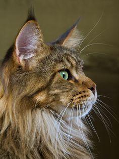 Main Coon Cat