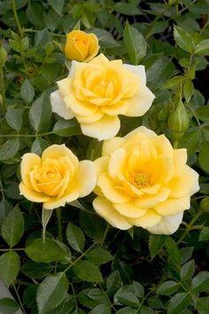 Sequoia Gold ~ Miniature Rose